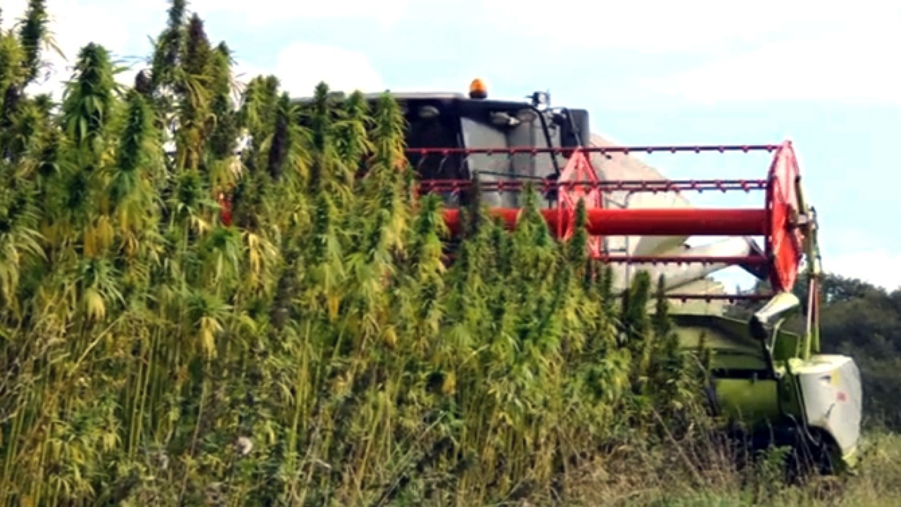 Combine harvesting hemp plants